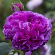 Розы Рейн де Виолетт