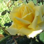 Розы Беролина