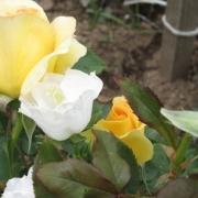 Розы Хани Букет