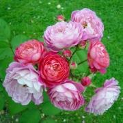 Розы Ина ан Мона