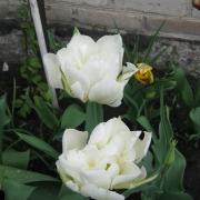 Тюльпаны Супер Пэррот