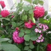 Розы Тесс оф зе дэ Урбервиллес