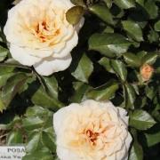 Розы Роналд Виллиам Пирс
