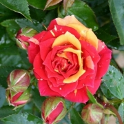 Розы Чили Клементин