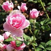 Розы Флэшлайт