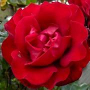 Розы Сантана
