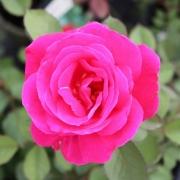 Розы Виннипег Паркс