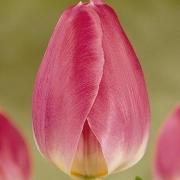 Тюльпаны Флаер