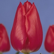 Тюльпаны Кристмас Карол