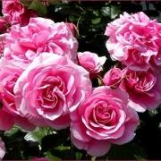 Розы Гартентрауме