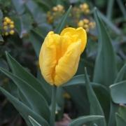 Тюльпаны Техас Голд