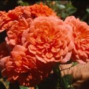 Розы Леди Пенелопе