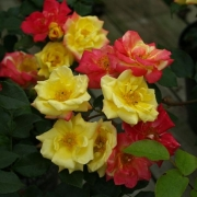 Розы Маскарад