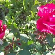 Розы Мистер Линкольн