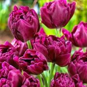 Тюльпаны Шоукейс
