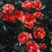 Розы Др. Еилин О Нил