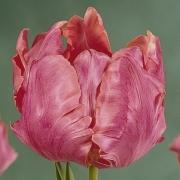 Тюльпаны Диана Росс