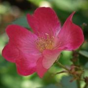 Розы Коктейль