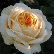 Розы Тизинг Джорджия