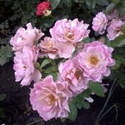 Розы Лавендер Пиноккио