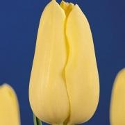 Тюльпаны Милано