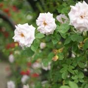 Розы Аш Веднесдэй