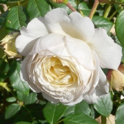 Розы Клейр Остин