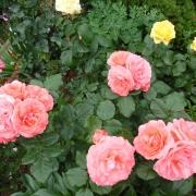 Розы Амелия Ренессанс