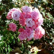 Розы Тино Росси