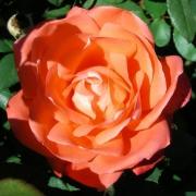 Розы Спайс Твайс