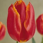 Тюльпаны Геанка
