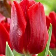 Тюльпаны Руби Принц
