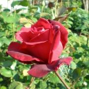 Розы Соммердуфт