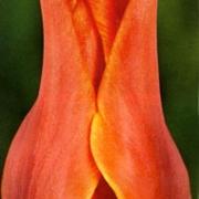 Тюльпаны Кобра
