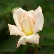 Розы Генри Сальвадор