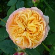 Розы Велл Биинг
