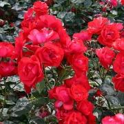 Розы Торнадо