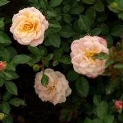 Розы Пич Клементин
