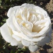 Розы Элвис