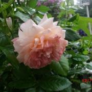 Розы Сэр Ланселот