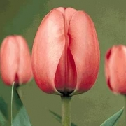 Тюльпаны Лило Пинк