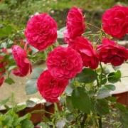 Розы Хобби
