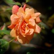 Розы Саттерс Голд