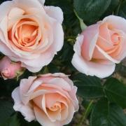 Розы Претти Леди