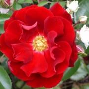 Розы Бассино