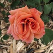 Розы Веспер