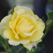 Розы Голдфассад