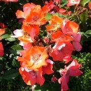 Розы Игл Уингс