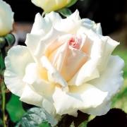 Розы Покер