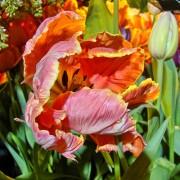 Тюльпаны Пэррот Леди